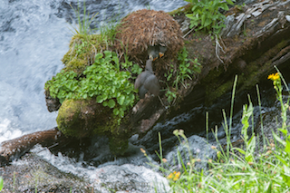 Thumbnail image for Water Ouzel Nest Found at Lassen Volcanic National Park