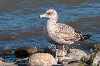 Thumbnail image for California Gulls at 10000 Birds