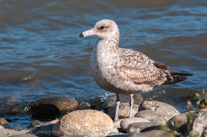 California Gull First Winter