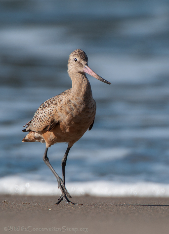 Marbled Godwit at Seal Rock Beach