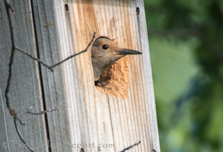 Northern Flicker Female at Nest Box Entrance