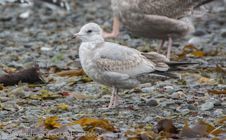 Thumbnail image for Mew Gull at 10000 Birds