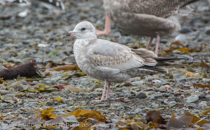 Mew Gull First Winter