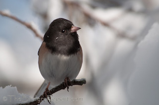 Thumbnail image for The 117th Audubon Annual Christmas Bird Count Begins December 14th